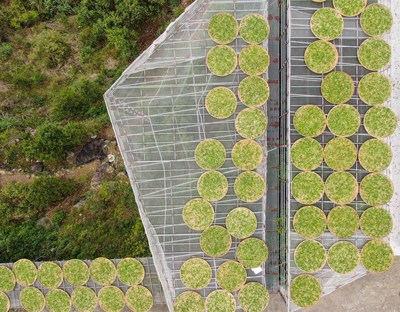 Tea leaves drying in the Provincial Modern Agricultural Industrial Park for Fenghuang Dancong Tea, Chao'an District, Chaozhou City, Guangdong, China (Aerial photo).